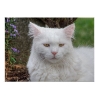 Serious White Cat Poster