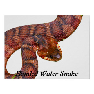 Serpiente de agua congregada póster