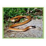 Serpiente de cabeza negra de los llanos postales