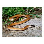 Serpiente de cabeza negra de los llanos tarjetas postales