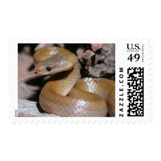 Serpiente de casa hinchada amarillo (Lamprophis Franqueo