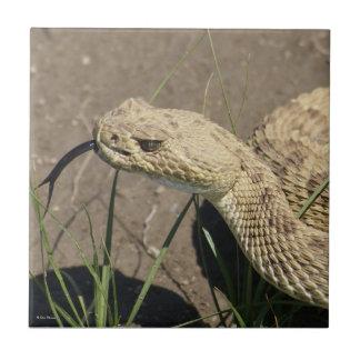 Serpiente de cascabel de pradera R0008 Tejas