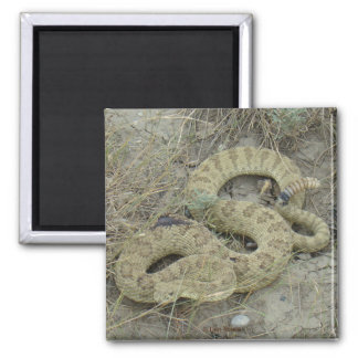Serpiente de cascabel de pradera R0020 Imán Cuadrado