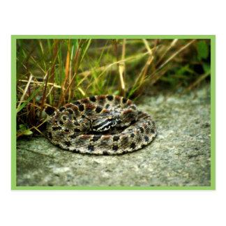 Serpiente de cascabel del Pigmy Postales