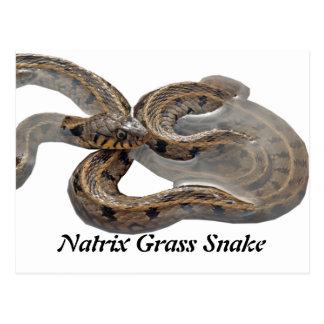Serpiente de hierba del Natrix Tarjeta Postal