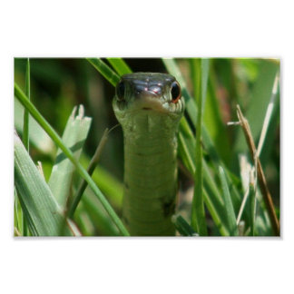 Serpiente de liga en la hierba póster