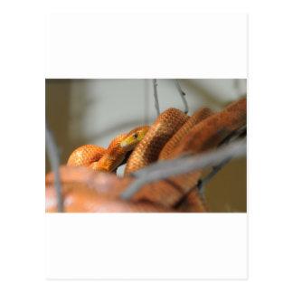 Serpiente de rata de los marismas postales