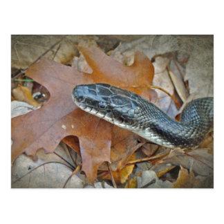 Serpiente de rata negra - obsoleta del obsoleta de tarjeta postal