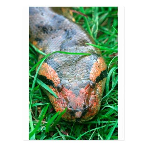 Serpiente el Amazonas Perú del Anaconda