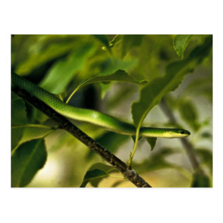 Serpiente verde lisa postal