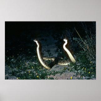 Serpientes de cascabel de Tejas Diamondback Poster