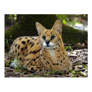 serval 015 postcard