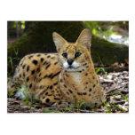 serval 015 tarjetas postales
