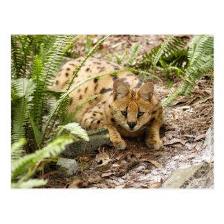 serval 019 postcard