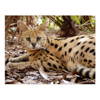 serval 025 postcard