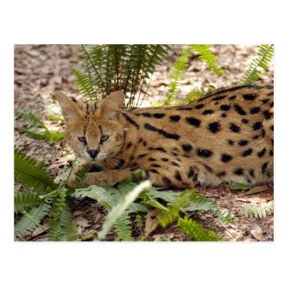 serval 029 postcard