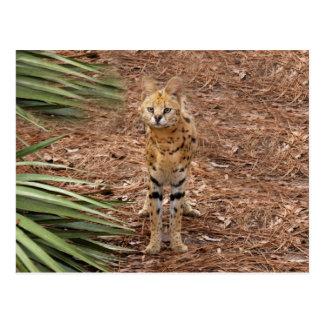 serval 046 postcard