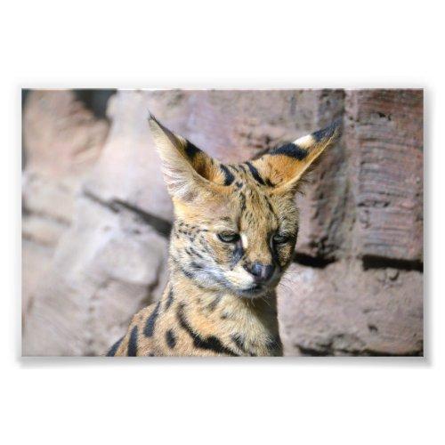 Serval Cat Photo Print