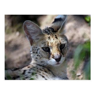 Serval Cat Postcard