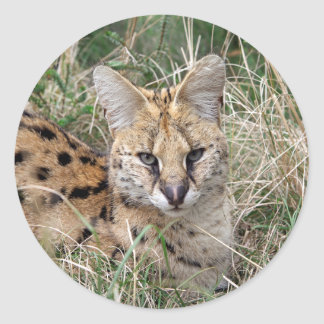 Serval cat relaxing in grass classic round sticker