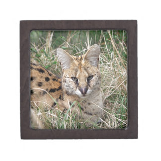 Serval cat relaxing in grass jewelry box