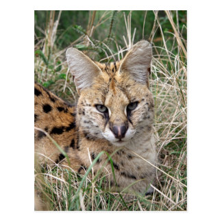 Serval cat relaxing in grass postcard
