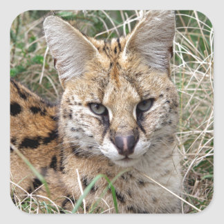 Serval cat relaxing in grass square sticker