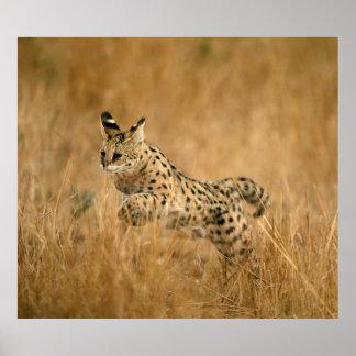 Serval (Leptailurus Serval) Jumping Poster