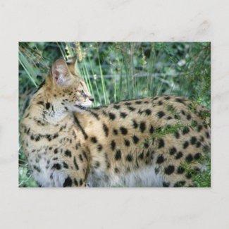Serval postcard