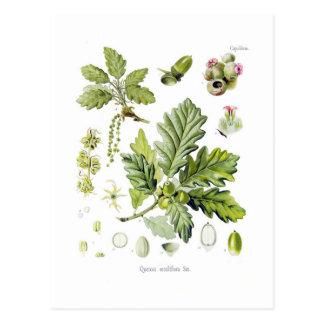 Sessiliflora del quercus (roble sésil) tarjetas postales