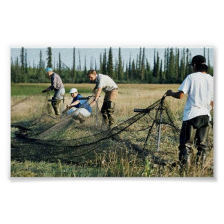Setting a waterfowl capture net poster
