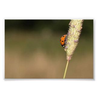 Seven-spot Ladybird Photograph