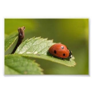 Seven-spot Ladybird Photo