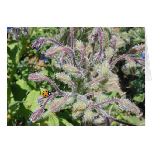 Seven-Spotted Ladybug on Borage Blank Card