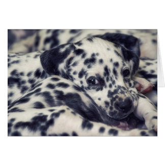 Several Dalmatian puppy with stains Card