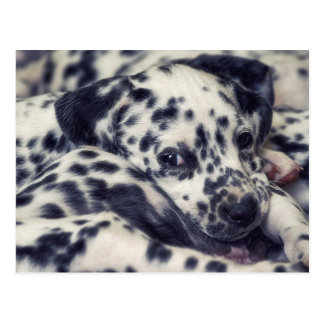 Several Dalmatian puppy with stains Postcard