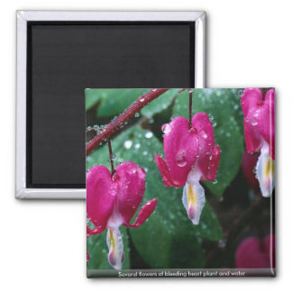 Several flowers of bleeding heart plant and water 2 inch square magnet