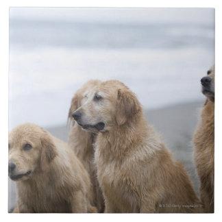 Several Golden retrievers sitting on beach Ceramic Tile