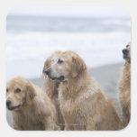 Several Golden retrievers sitting on beach Square Sticker