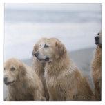 Several Golden retrievers sitting on beach Tiles