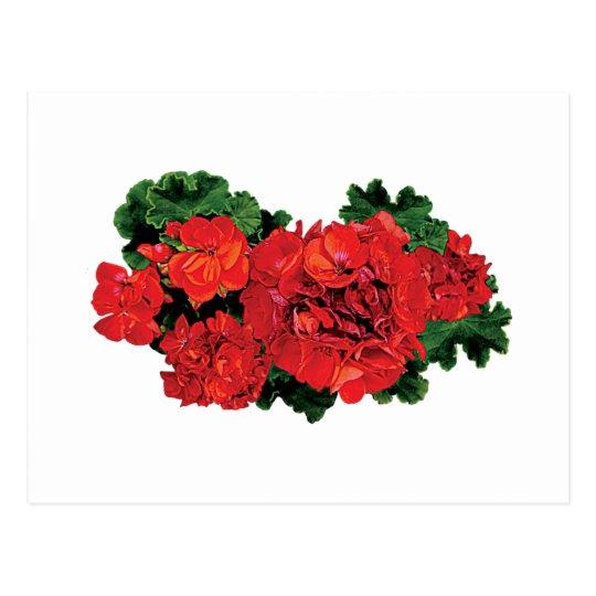 Several Red Geraniums Postcard