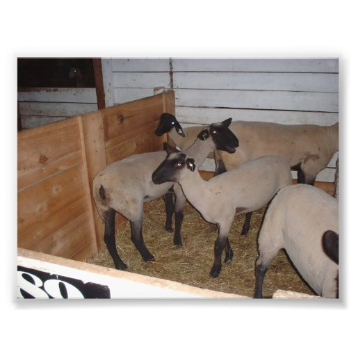 Several Sheep in a Barn Stall Photo