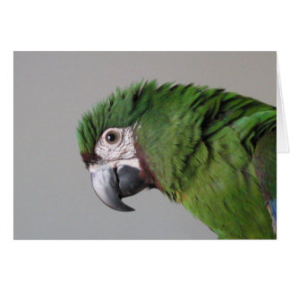 Severe Macaw Greeting Card