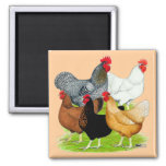 Sex-linked Chickens Quintet 2 Inch Square Magnet