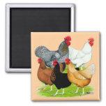 Sex-linked Chickens Quintet Fridge Magnet