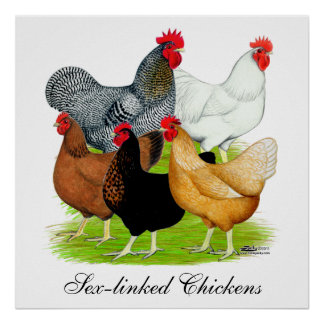 Sex-linked Chickens Quintet Poster