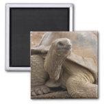 Seychelle Aldabran land tortoise Fridge Magnets
