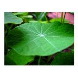 Shaddy Nasturtium leaf Postcards