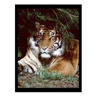 Shaded Tiger Postcard