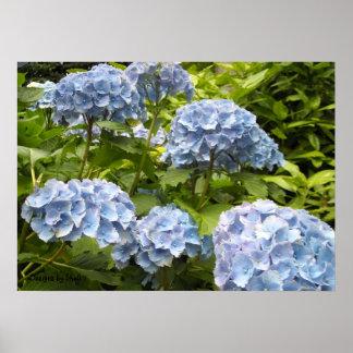 Shades of Blue Hydrangeas Poster